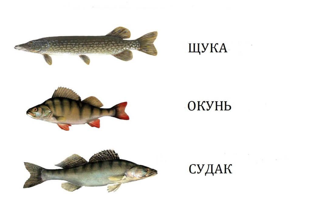 картинки рыб окуня щуки того