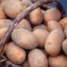 старая картошка